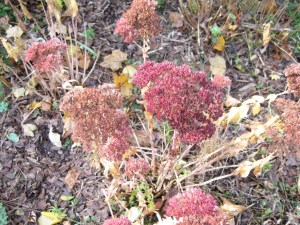 Sedum Autumn Joy at the end of the season.