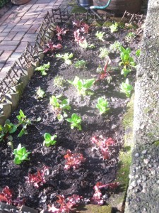 The lettuce bed enriched with compost.
