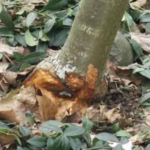 Orchard mice damage