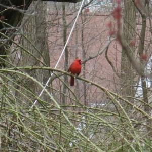 Quick darts of cardinal red