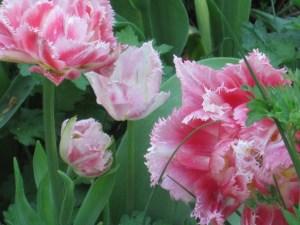 Fringe tulips. Crystal Palace.