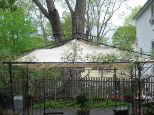 The big silver maple seen behind the gazebo (under which live the Robins)
