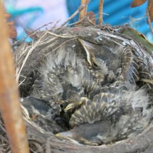 Crowded nest