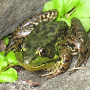 This frog looked rather alert -  ready for the unsuspecting fly.
