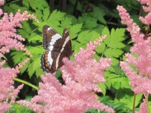 Astilbe and a White Admiral