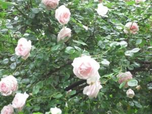 'Heritage' rose