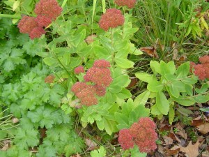 Appropriatly named Sedum 'Autumn Joy'