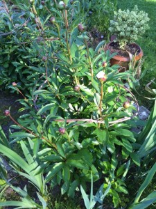 See how the peony plant now blends well with the grapevine covered support