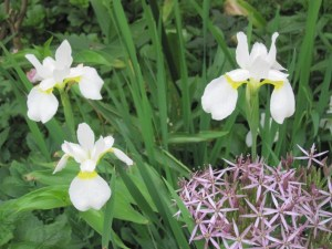Iris and allium