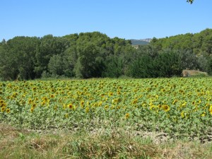 Sunflower field in Provence