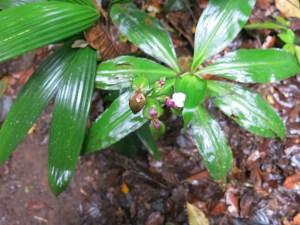 Rare lily