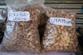 Aleinde halo prosusan fini ba batar Sele, grupu Buras Hamutuk mos produs dini forereai Utamua ne'ene nia produsaun 47% aas liu forerai lokal. © Yessy Betty/Seeds of Life