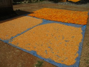 Maize in Liquica mountains harvested and drying. Photo: Samuel Bacon, SoL