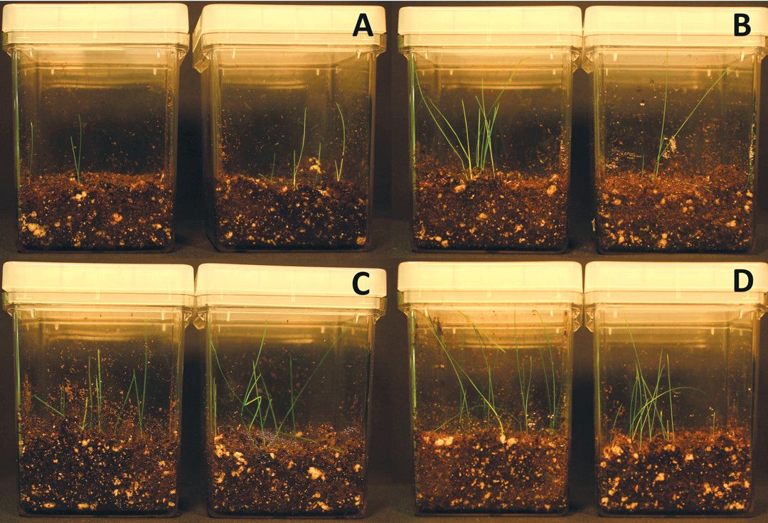 Figure 3. Seed germination rate of Kentucky bluegrass with and without bacteria on soil with 100nM NaCl. A is control, B is inoculated with Bacillus amyloliquefaciens strain SF2, C is inoculated with Bacillus pumilus strain SF3, D is inoculated with Pantoea agglomerans strain TF.