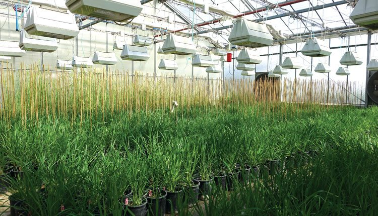 Researchers continue their pursuit of improving wheat — a staple crop around the world. Photo: Flormond-Desprez.
