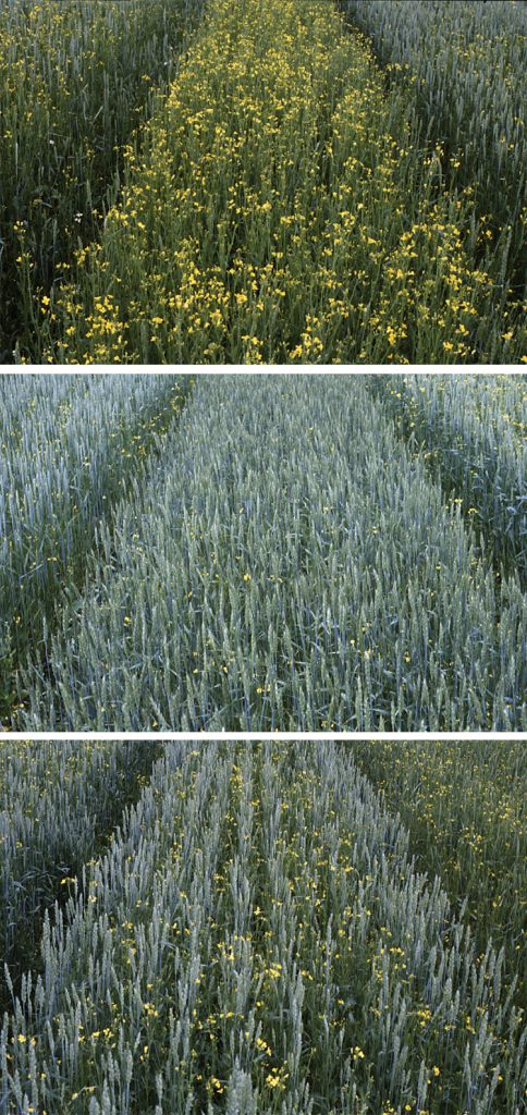 As part of the study, wheat was planted in rows and in a grid pattern at varying densities with weed pressure provided by rapeseed. The first image shows wheat planted in rows at a low density. The middle image shows wheat planted in rows at a high density, and the last image shows wheat planted in a grid pattern at a high density. Source: University of Copenhagen.