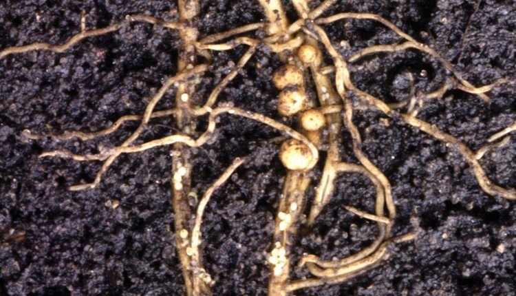 The bodies of female soybean cyst nematodes feeding in plant roots form bulbous, egg-filled nodules from which young will hatch the following spring. Photo: Keith Weller/USDA.