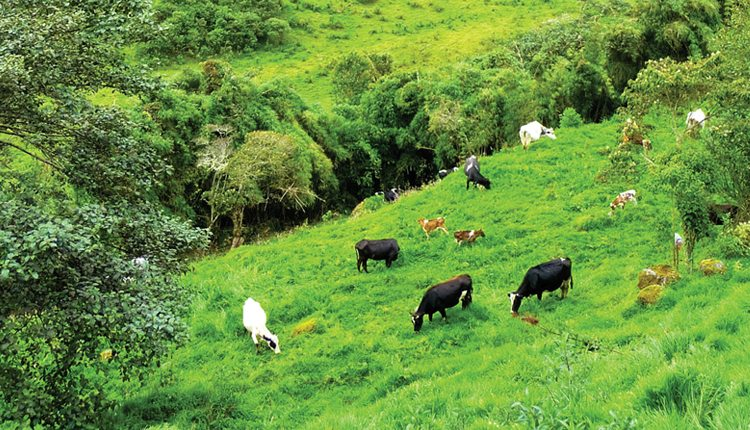 South America produces nearly 20 percent of the world's beef, mostly coming from Brazil, Argentina and Uruguay. The pasture areas in Brazil represent 75 percent of the agriculture area with 100,000 tons of forage seeds marketed annually.