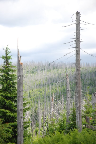 Trees affected by the bark beetle.
