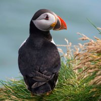 The most photogenic puffin in Iceland