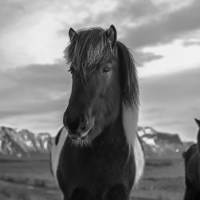 Day 3: Snaefellsnes Horses in Black&White