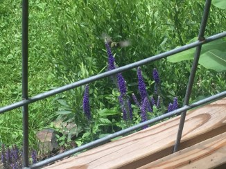 Humming Bird on purple flowers out side Boone, NC