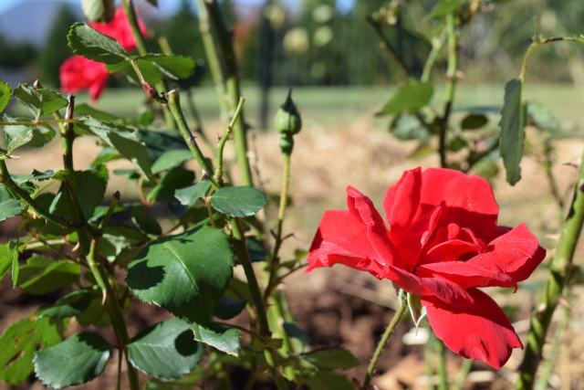 november-rose