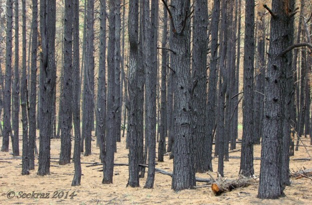 Burned forest above Walnut Canyon Arizona