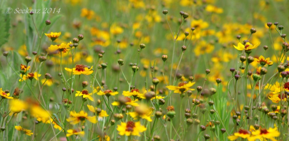 Yellow wildflowers of Walnut Canyon, Arizona 4