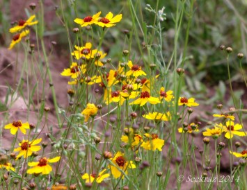 Yellow wildflowers of Walnut Canyon, Arizona