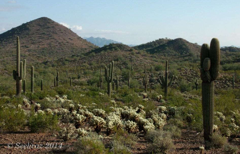 Multitude of Saguaro cacti on Desert Hills morning