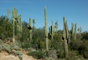 saguaro cacti collection