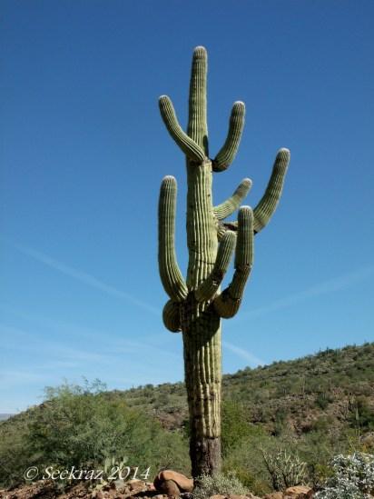 saguaro cactus multi-limbed