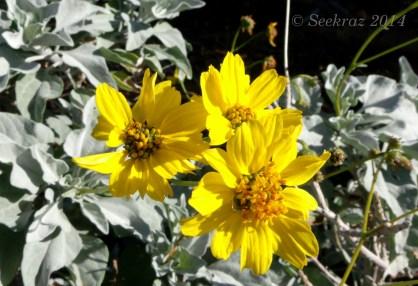 Brittlebrush blossoms