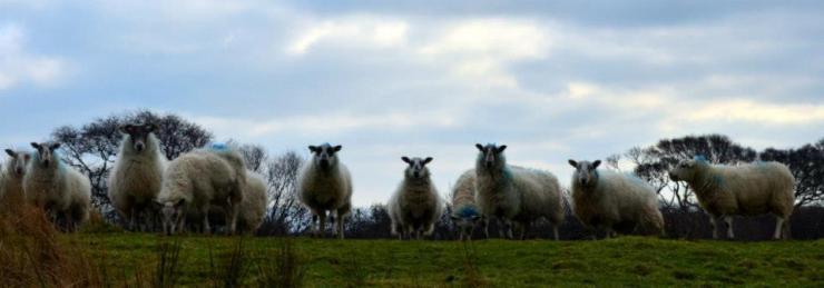 Sheep at attention