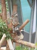 lazy Koalas