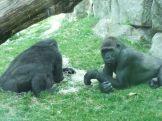 entspannte Gorillas