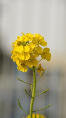 菜の花20090316.jpg