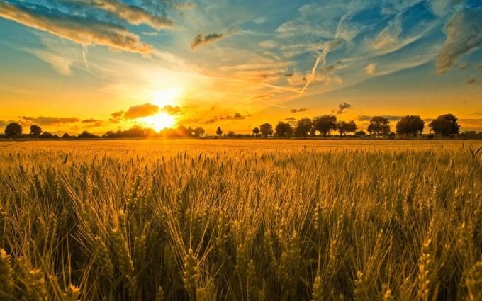 field_ears_cereals_decline_46237_3840x2400