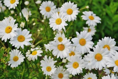 雛菊 daisy-165292_1920