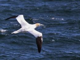 Northern gannet. Tina Ciarametaro
