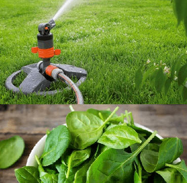 What you do with Garden sprinkleryou spinach