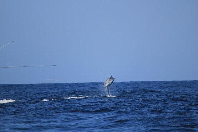 Die Beobachter schworen, der Fisch hätte frech gegrinst! © Marlins Mag