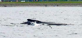 Die kleine Buckelwal Familie tauchte vor einem Monat vor dem dänischen Falshöft auf.