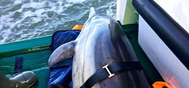 Delfin, DGzRS