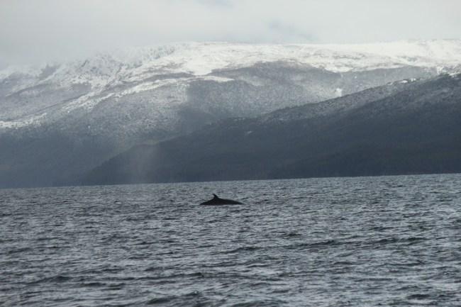 Baleia em Ushuaia