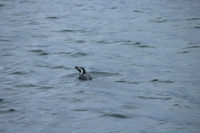 Pinguim em Ushuaia