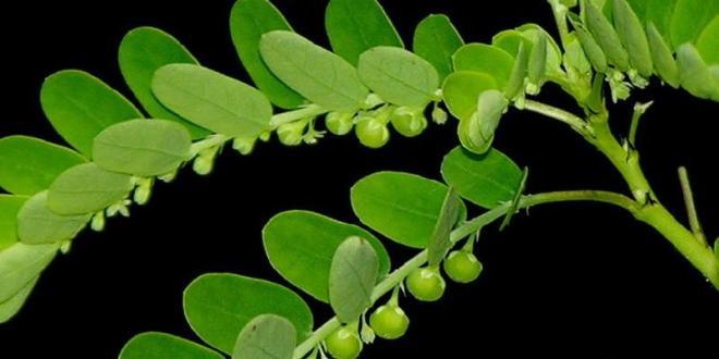 Meniran, Herba dengan Khasiat Anti Hepatitis, Diabetes hingga Anti Kanker