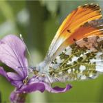 Nachtkerze und Schmetterlinge