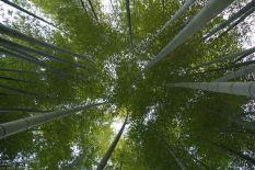 Hasedera Bambushain